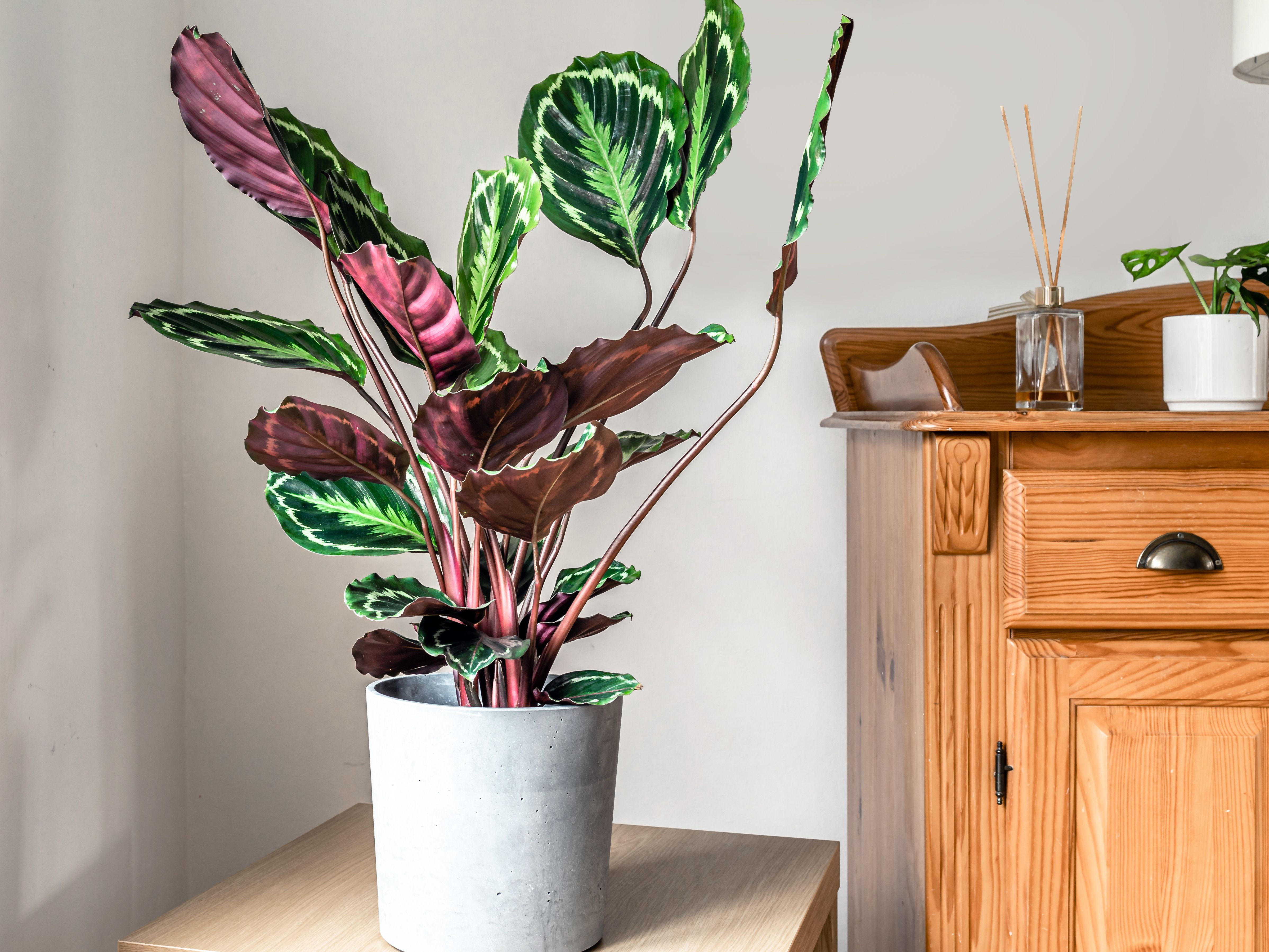 How To Grow And Care For Prayer Plants