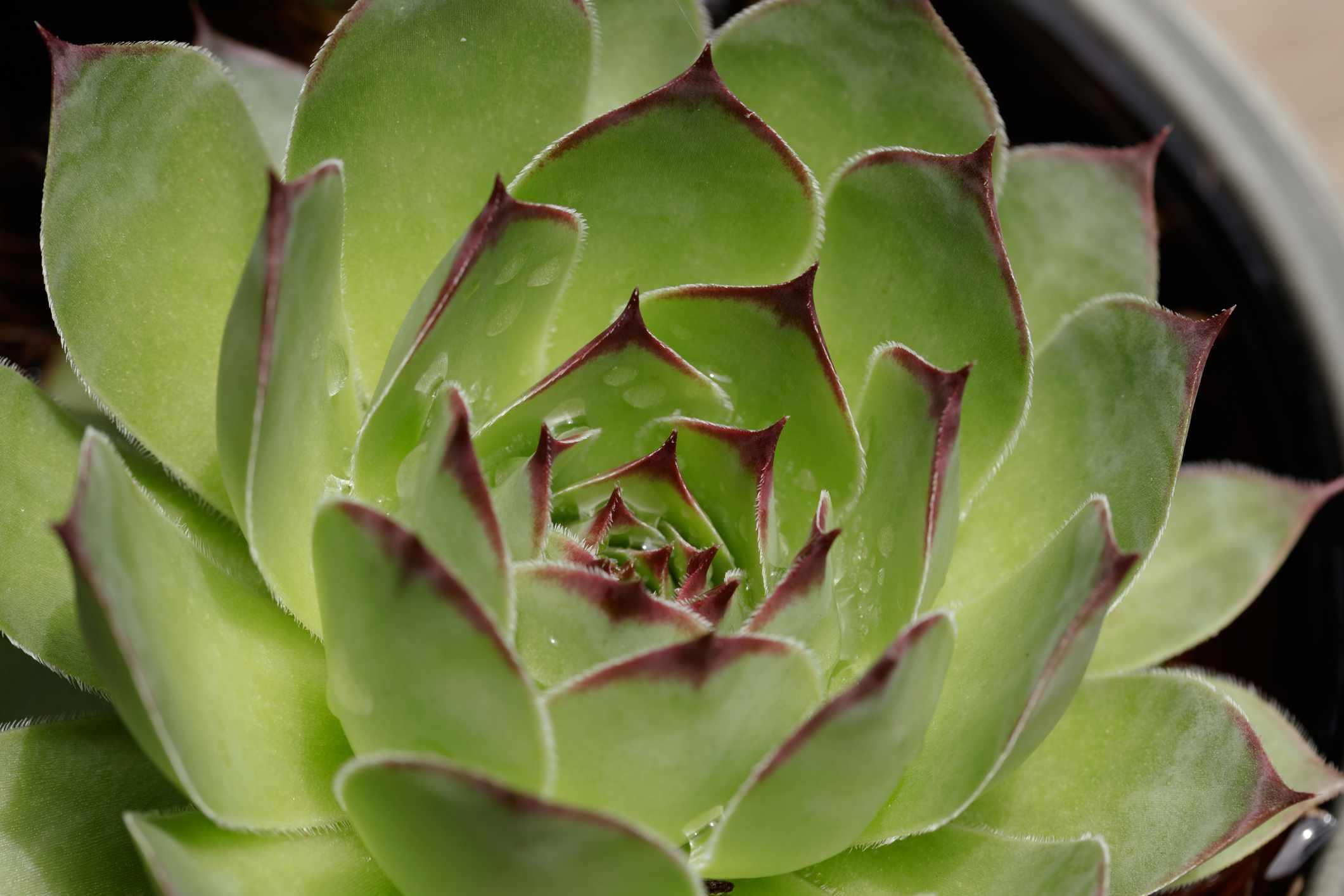 Wax agave closeup.