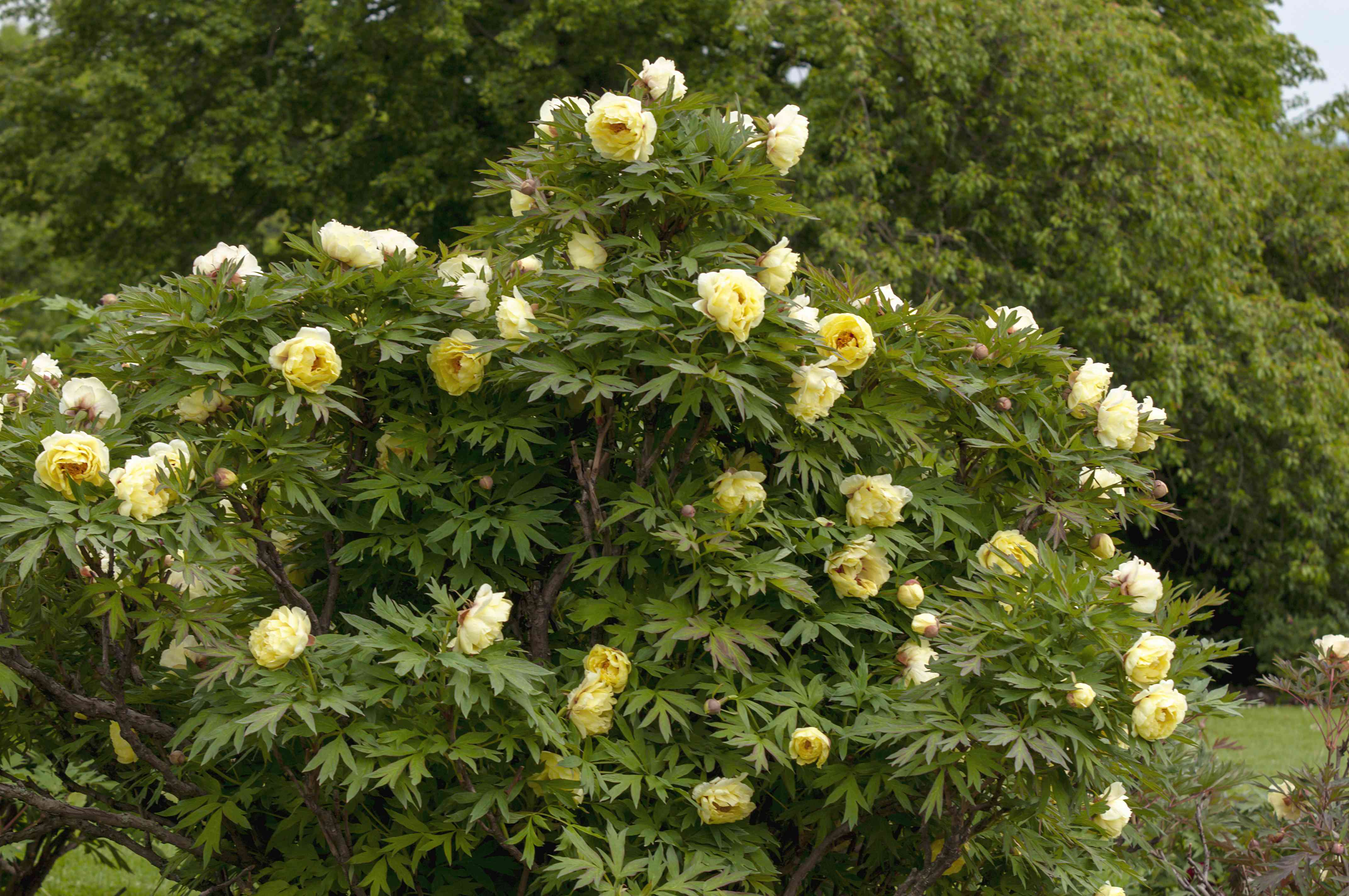 Itoh peony bush with yellow flowers in garden