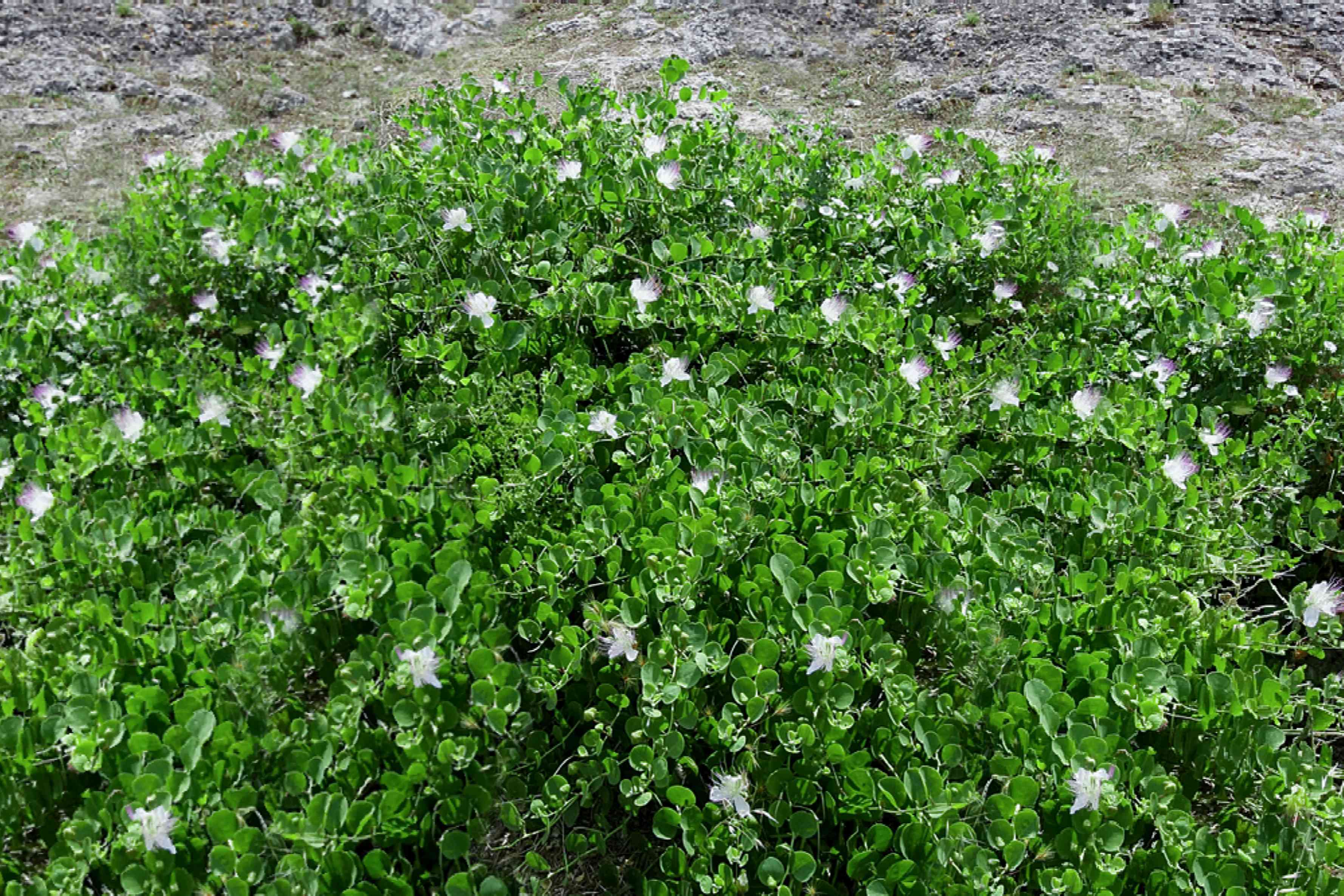 Caper bush with small white flowers
