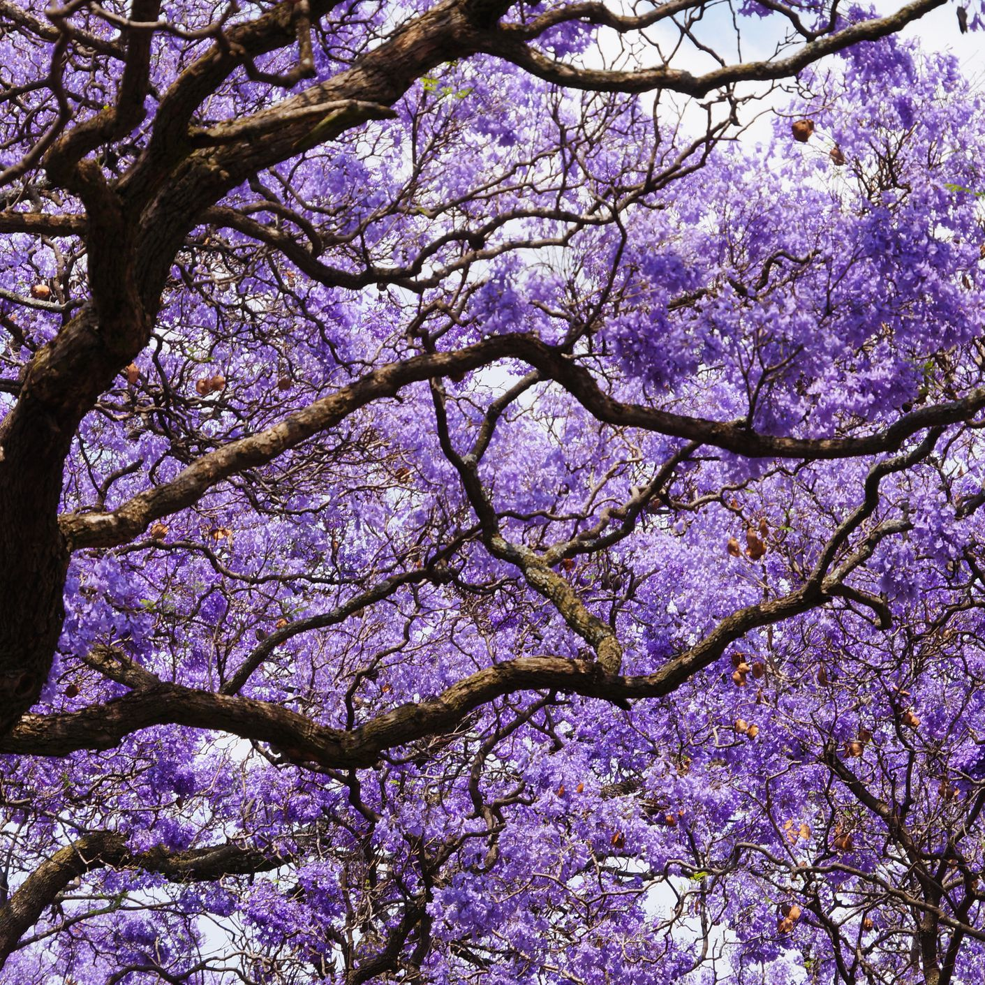 Jacaranda Tree: Plant Care and Growing Guide