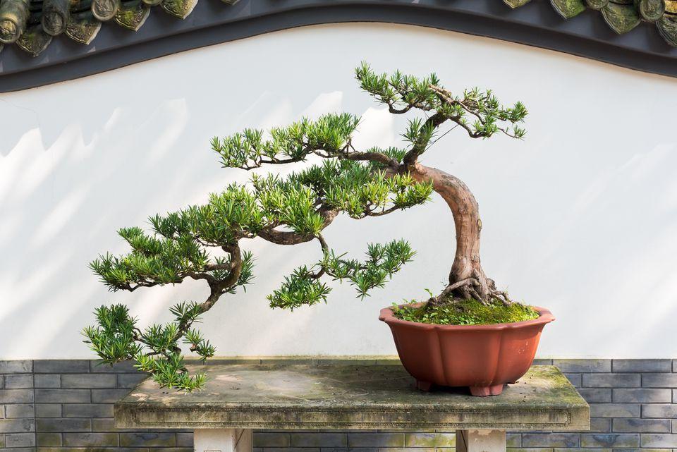 Bonsai pine tree (Pinus) in an orange pot against a white background.