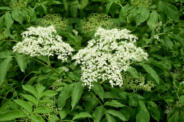 Common elderberry plant with bright white flowers and buds in middle of leaves