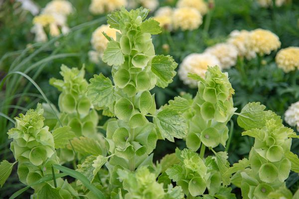 Bells of Ireland plant with emerald green funnel-shaped flowers clustered