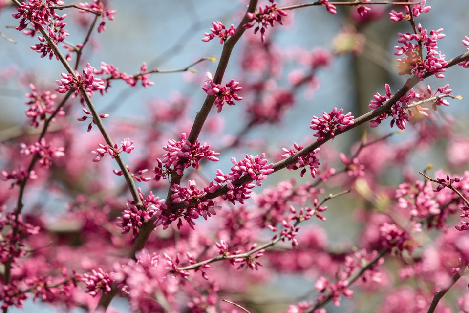 Eastern redbud branches with small pink flower buds