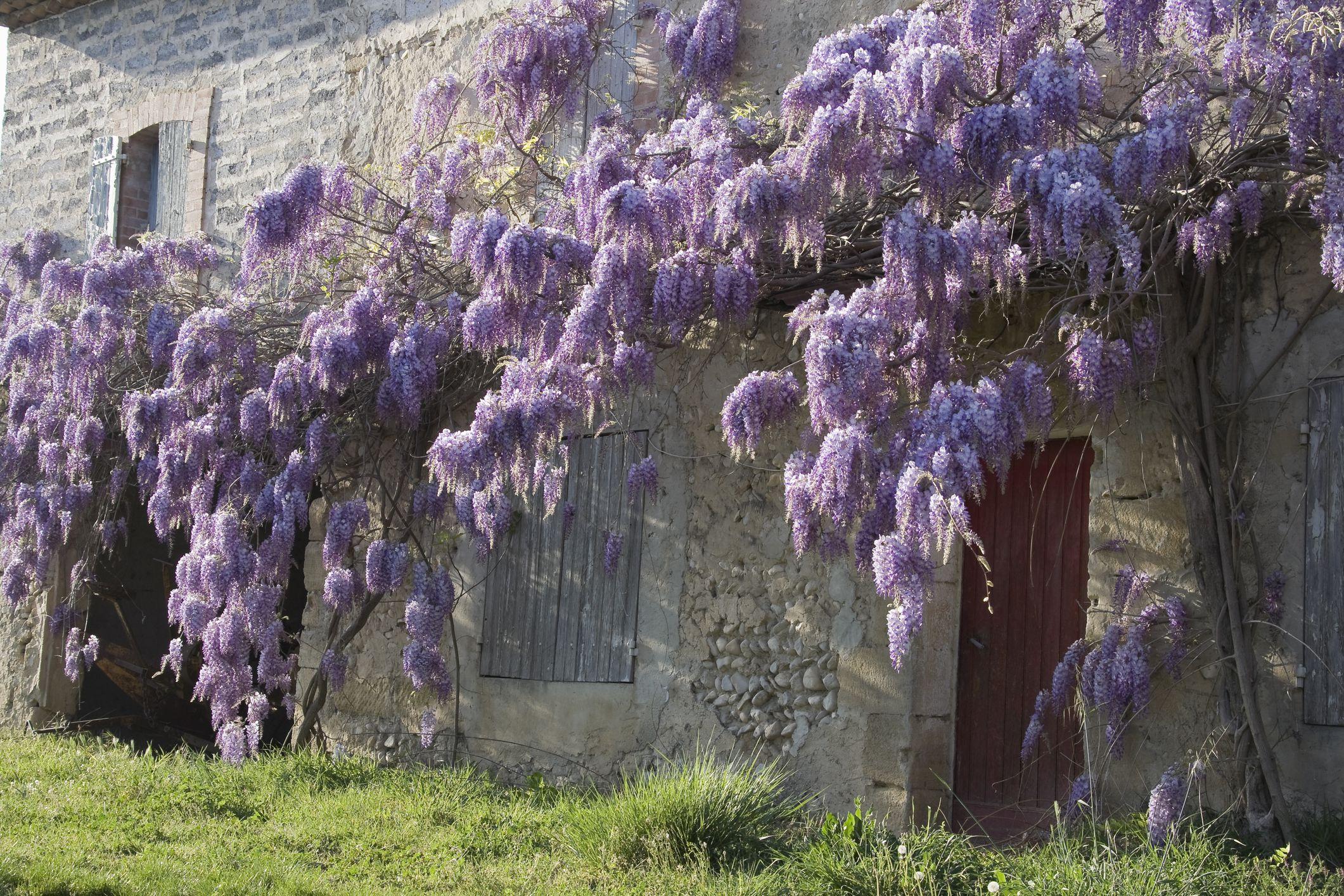 Wisteria Vine Landscape Uses ...