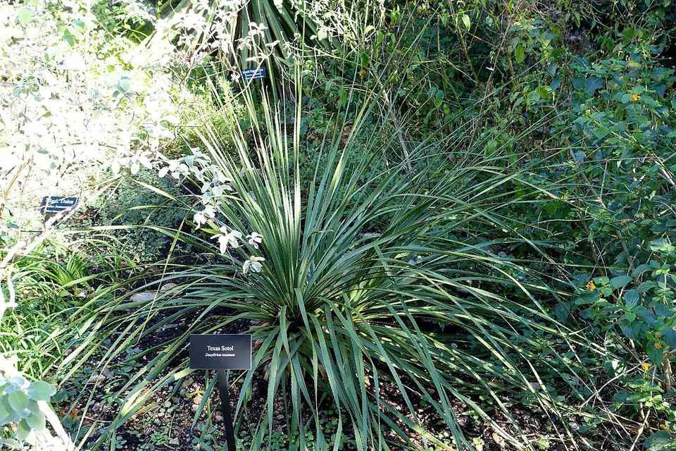 Picture of Texas Sotol (Dasylirion texanum) in a botanical garden