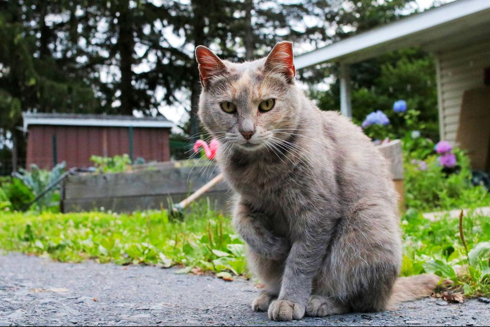 Brown and gray feral cat sitting on cement next to garden lawn