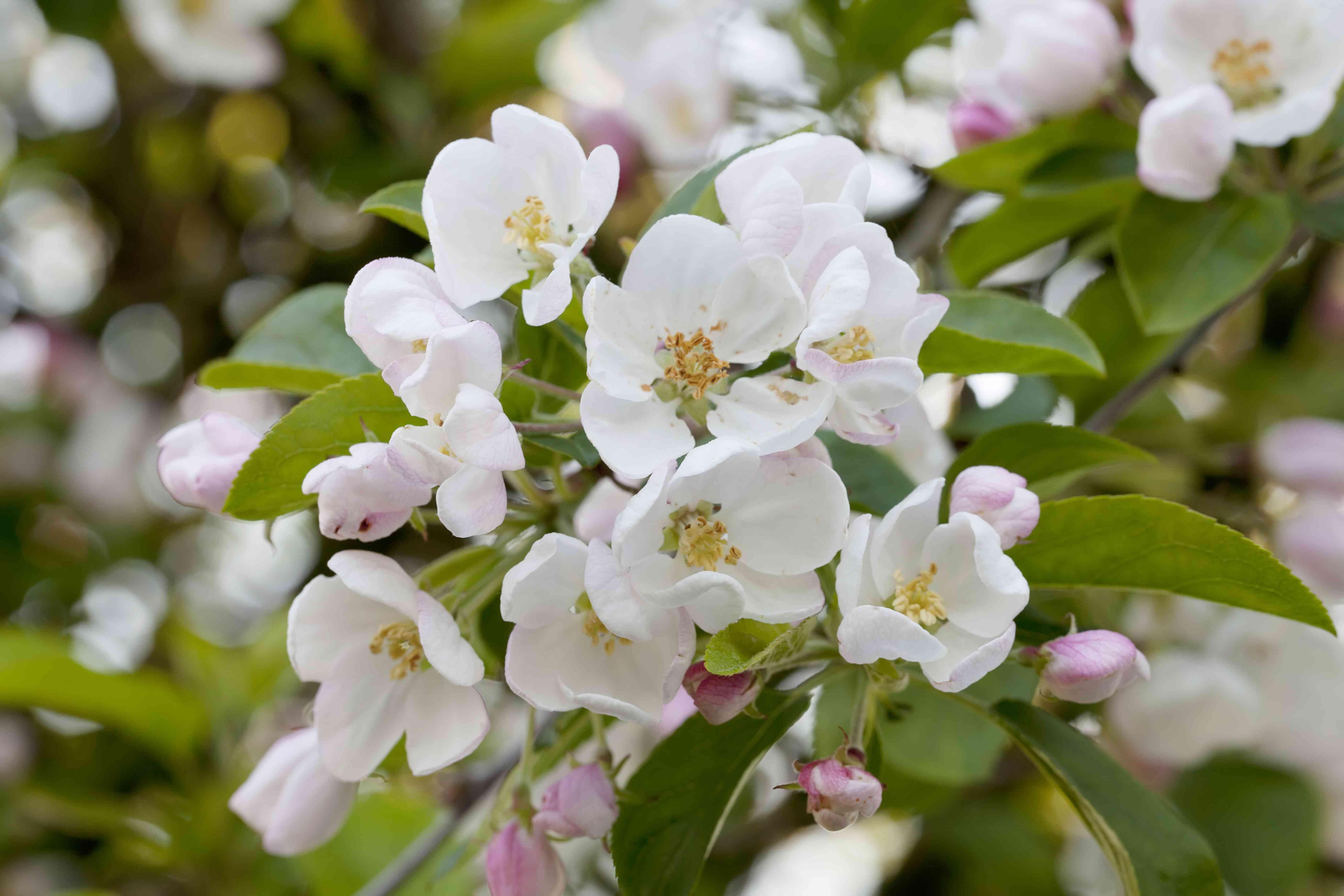 Crab Apple Tree (Malus pumila) in Blossom
