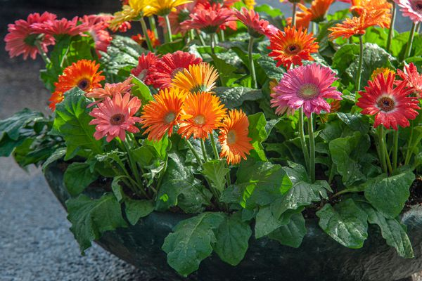 Gerbera daisies with orange, pink and red flowers with thick leaves