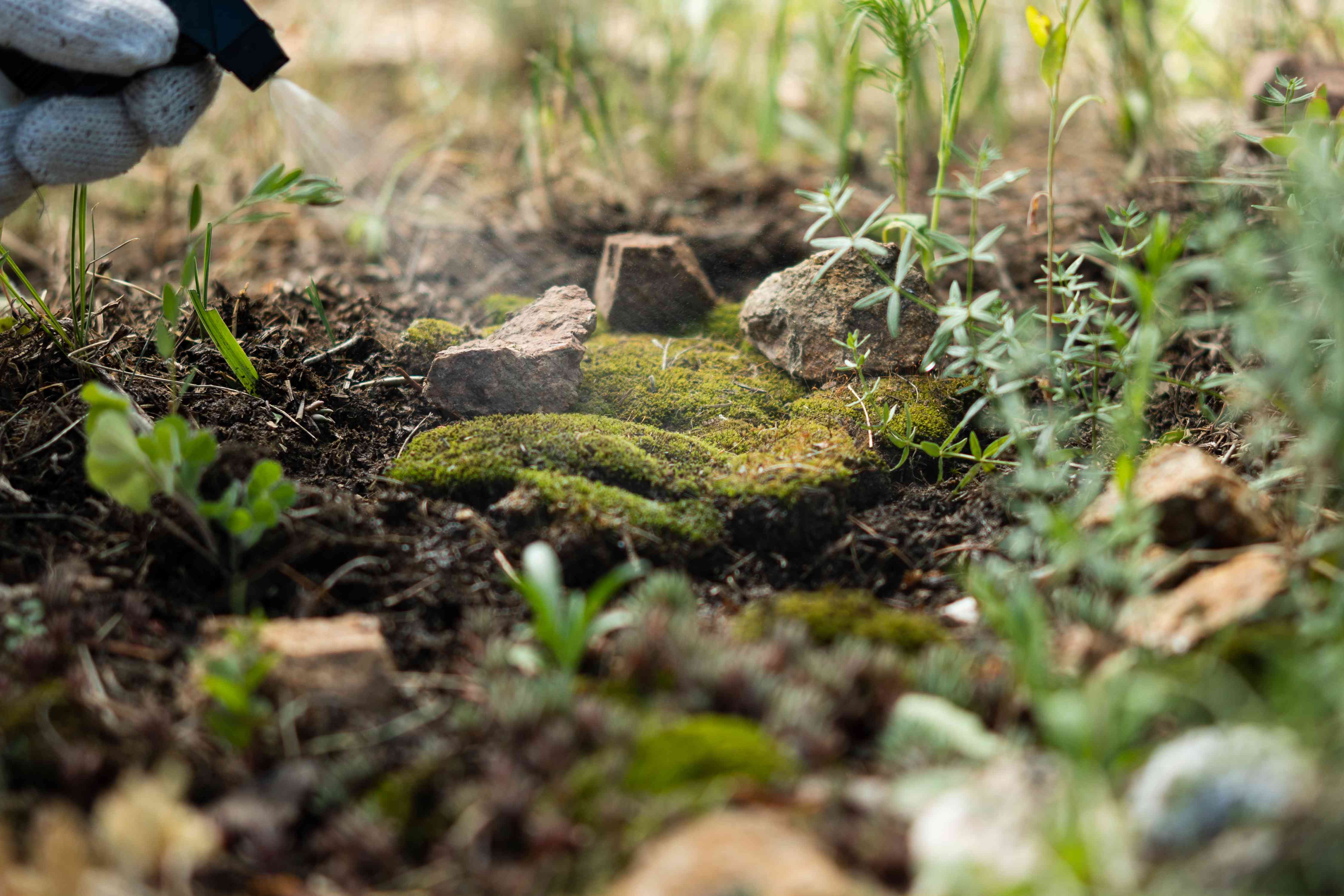 Transplanted moss being sprayed with water bottle to be kept moist