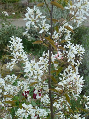 Meet 9 species of serviceberry trees and shrubs apple serviceberry altavistaventures Gallery