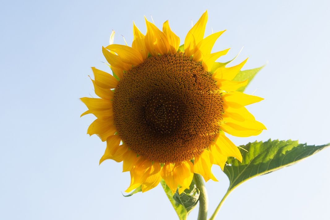 Large sunflower head with yellow colored petals closeup