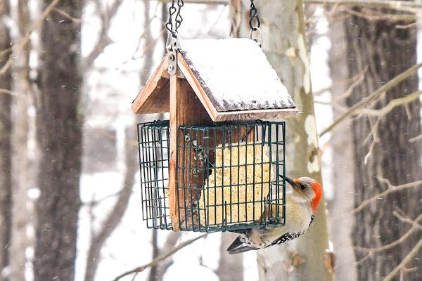 bird feeding on suet