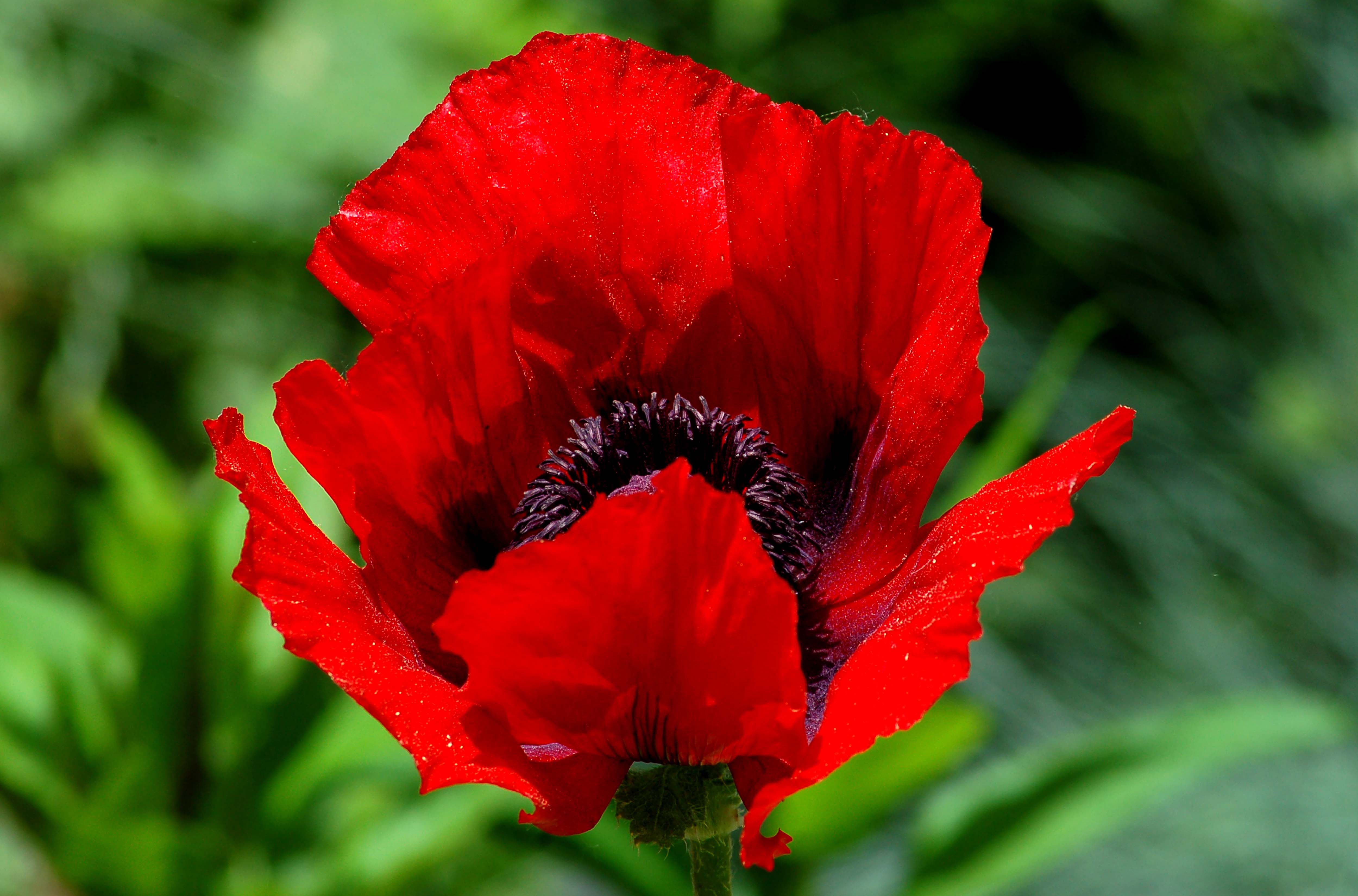Flower of Beauty-of-Livermere poppy.