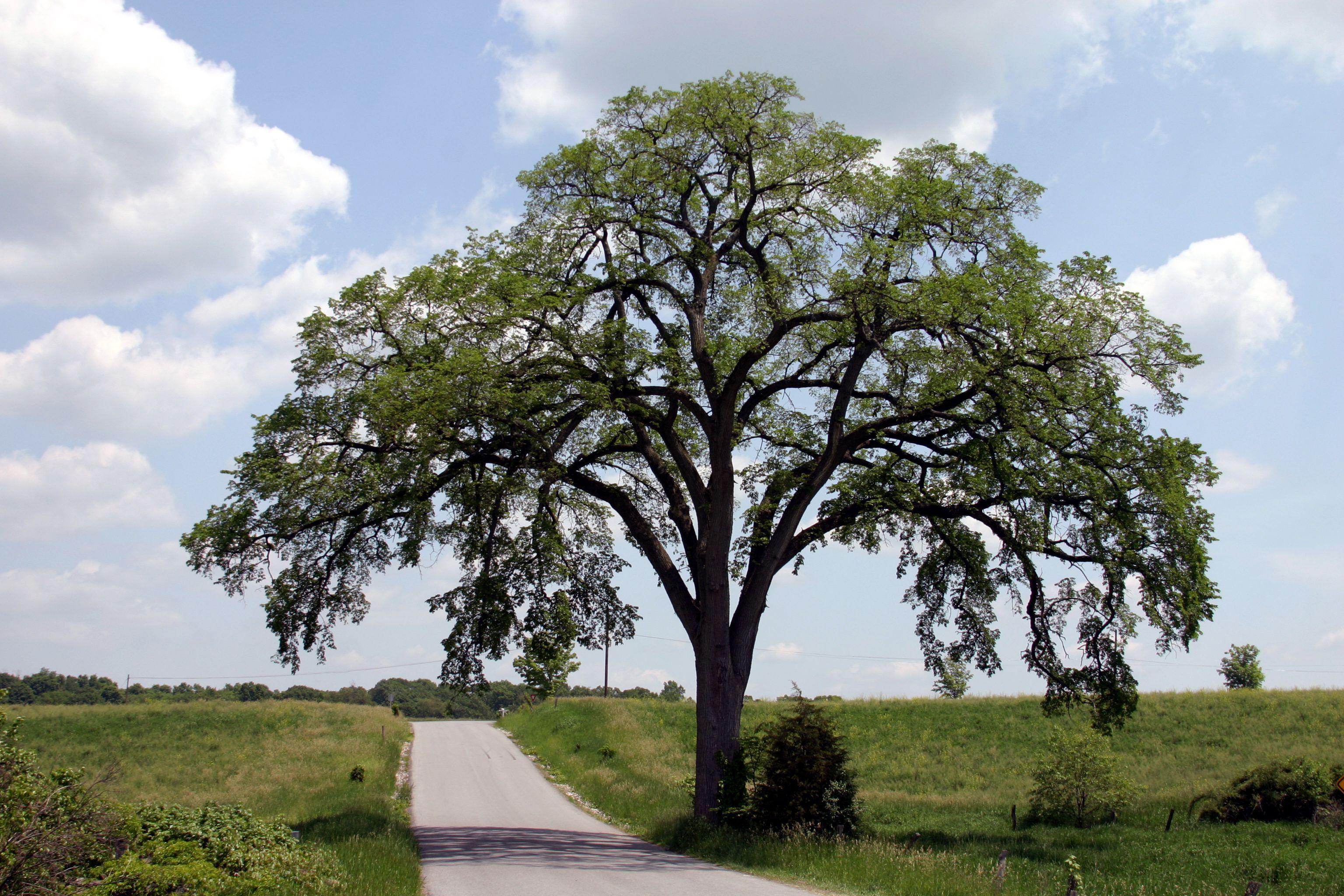 Elm tree alongside a country road