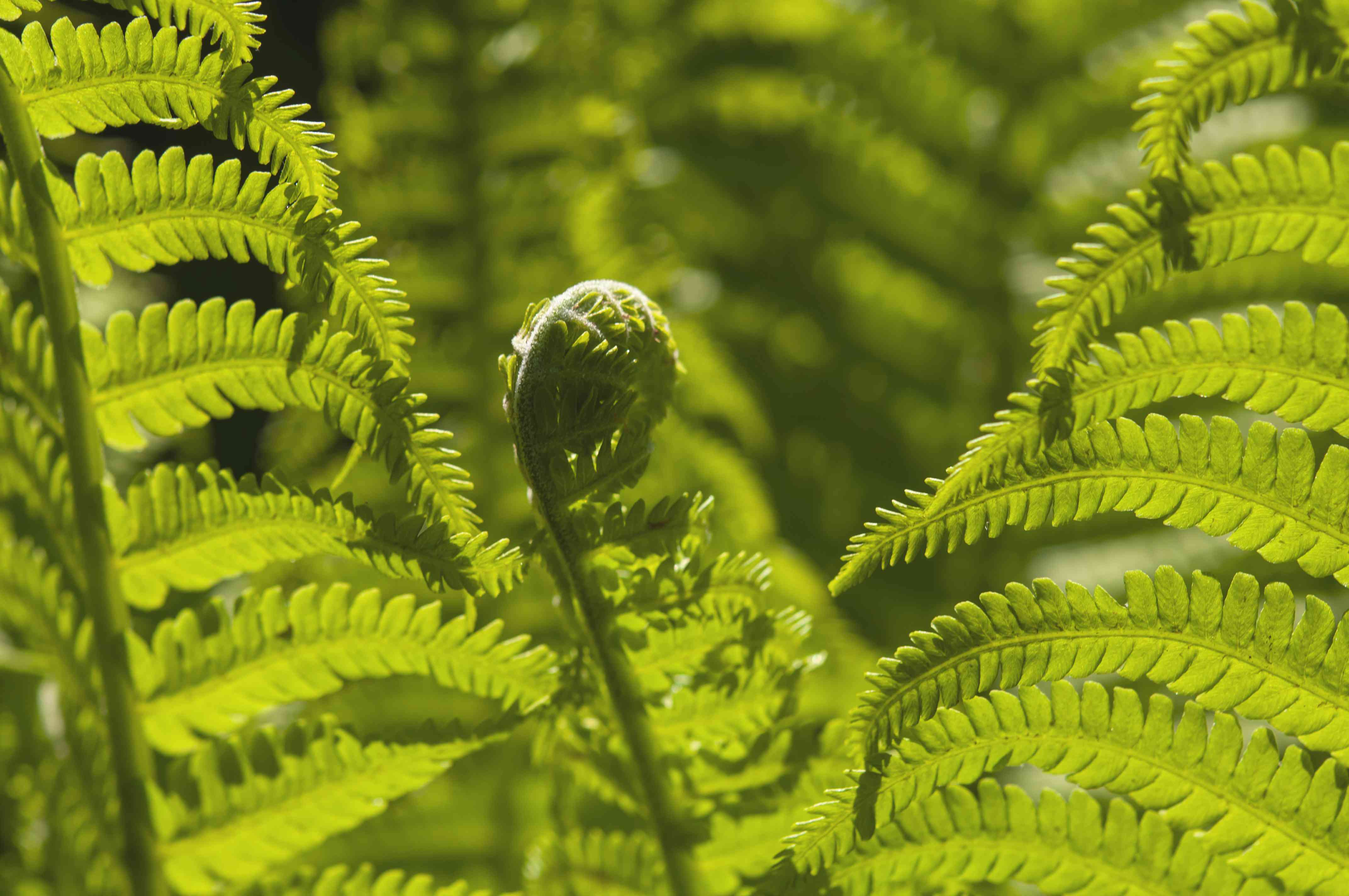 Ostrich fern frond unfurling closeup