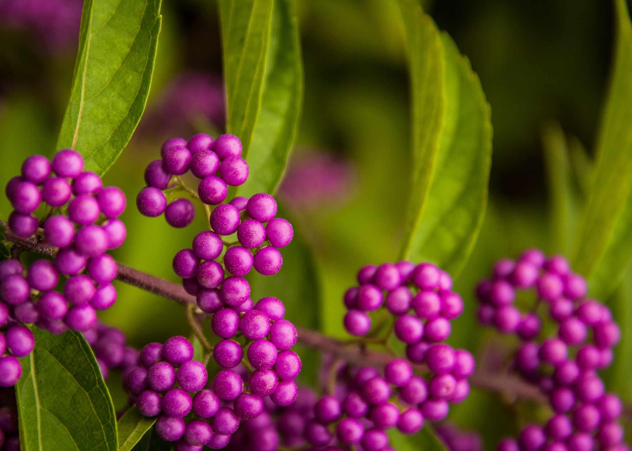 beautyberry berries