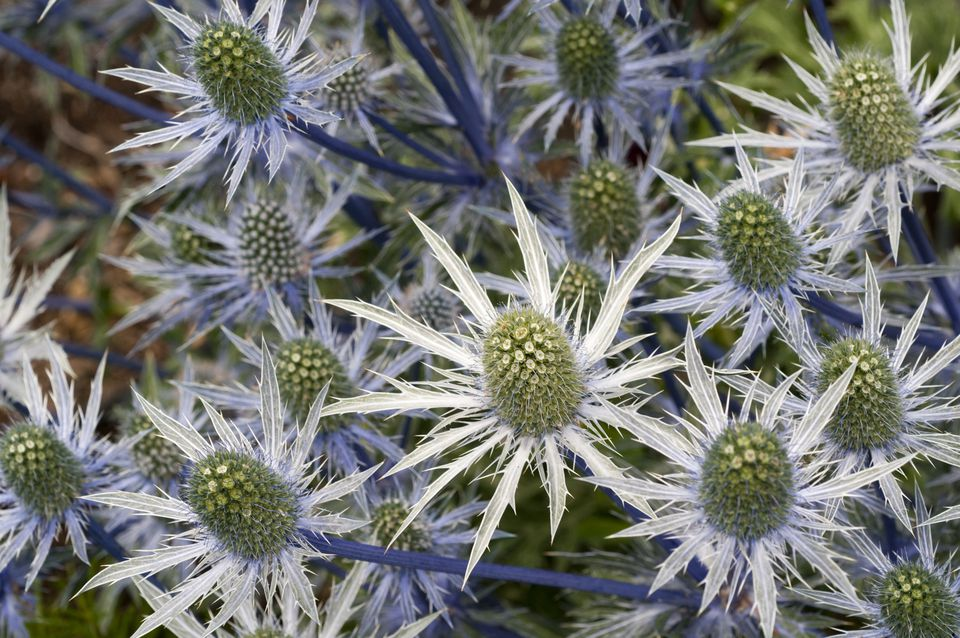 Eryngium, Sea Holly