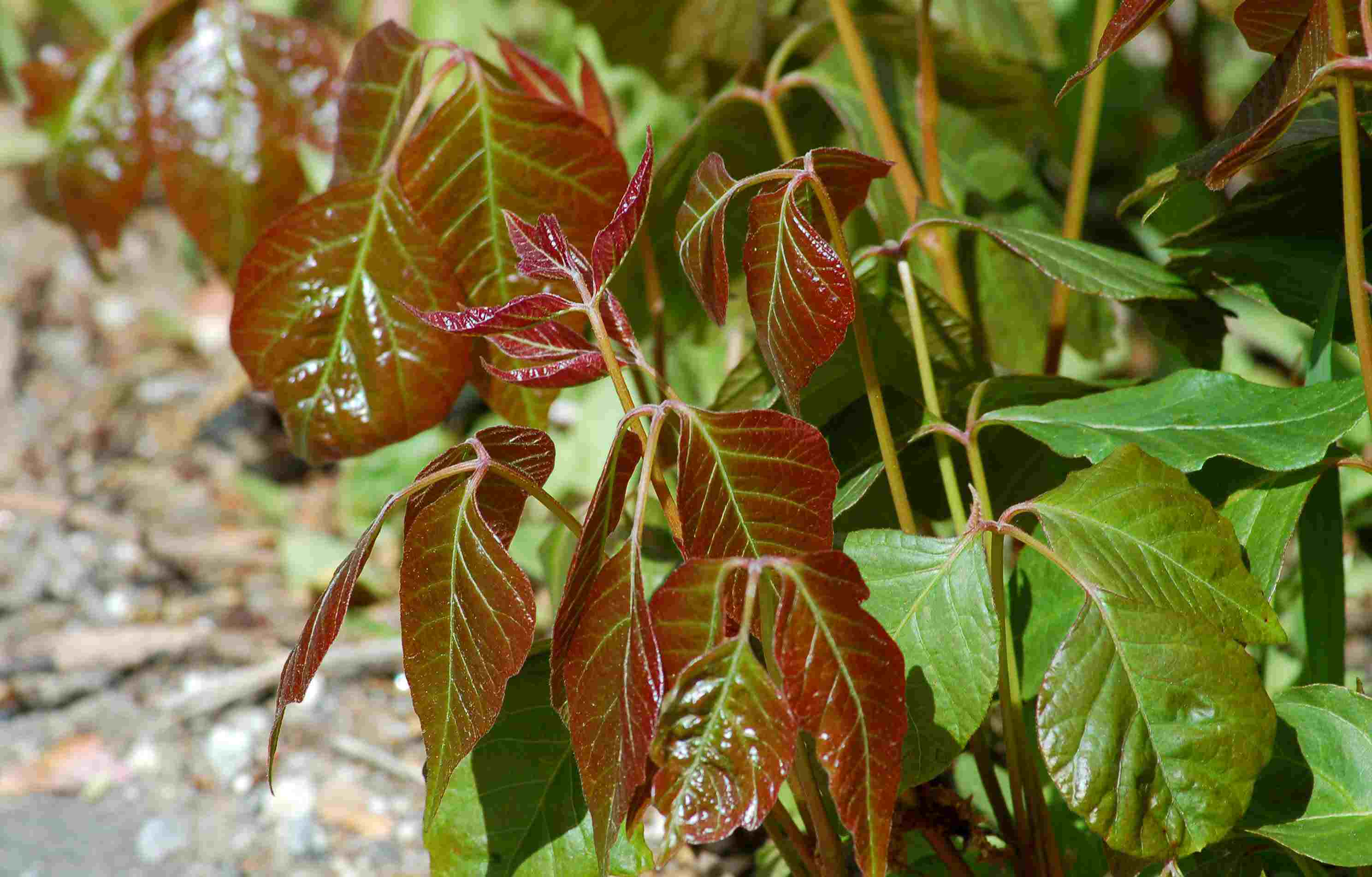 Young leaves of poison ivy in spring with reddish color.