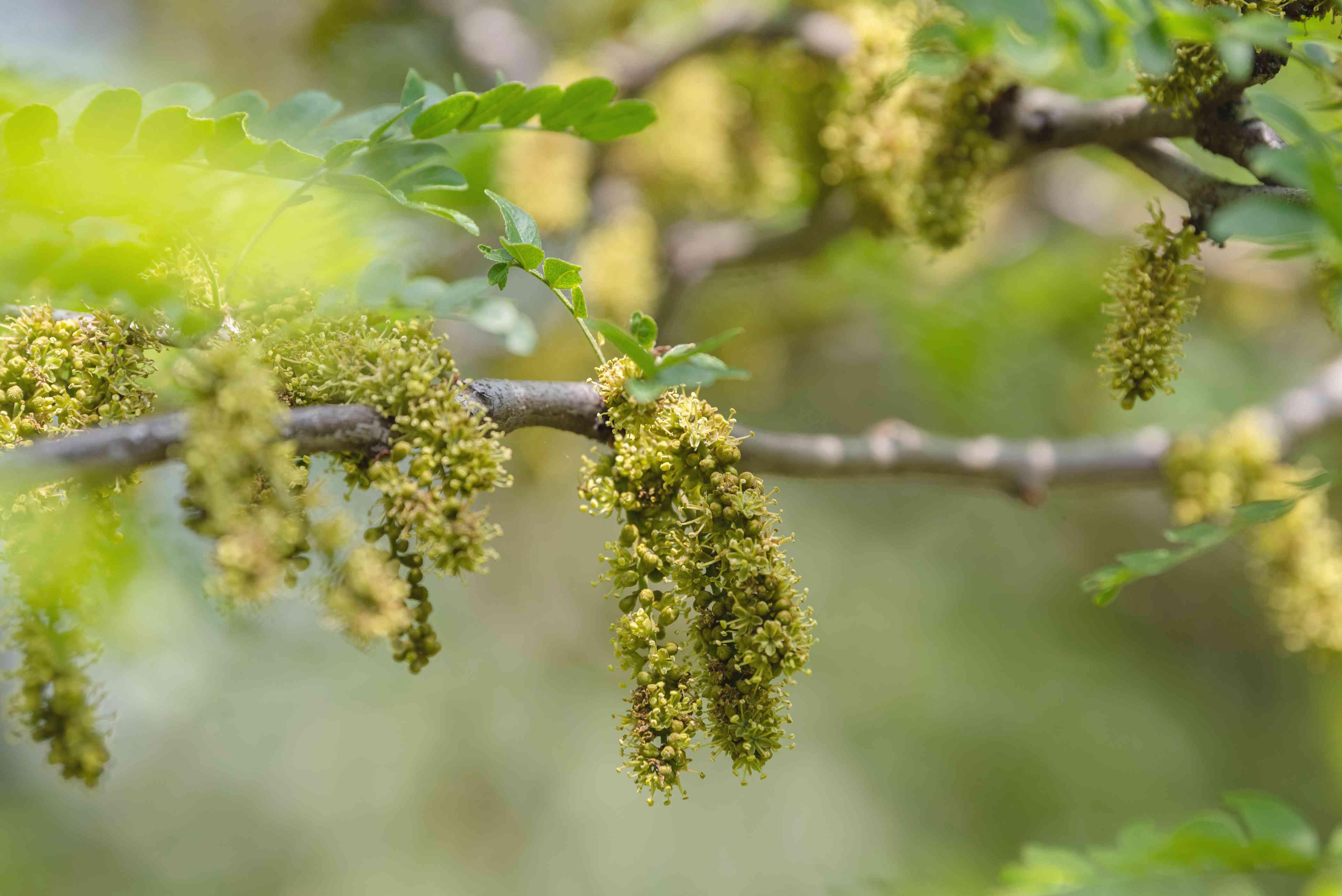 Sunburst honey locust tree branch with yellow-green panicles hanging closeup