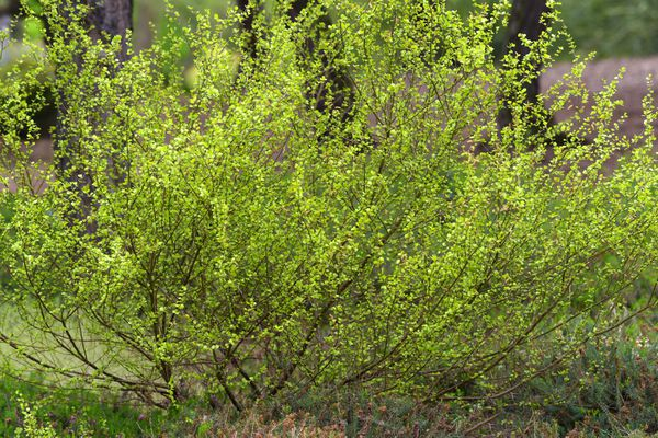 Dwarf birch shrub with small bright green leaves on thin branches