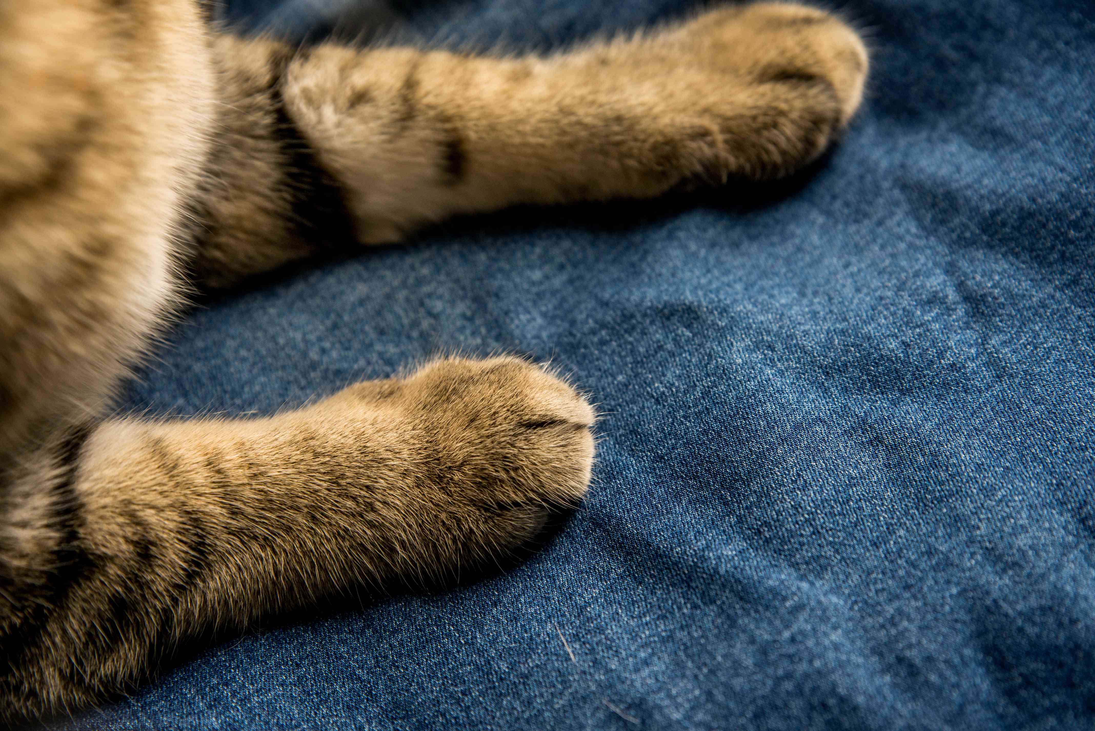 kitty's paws on denim fabric