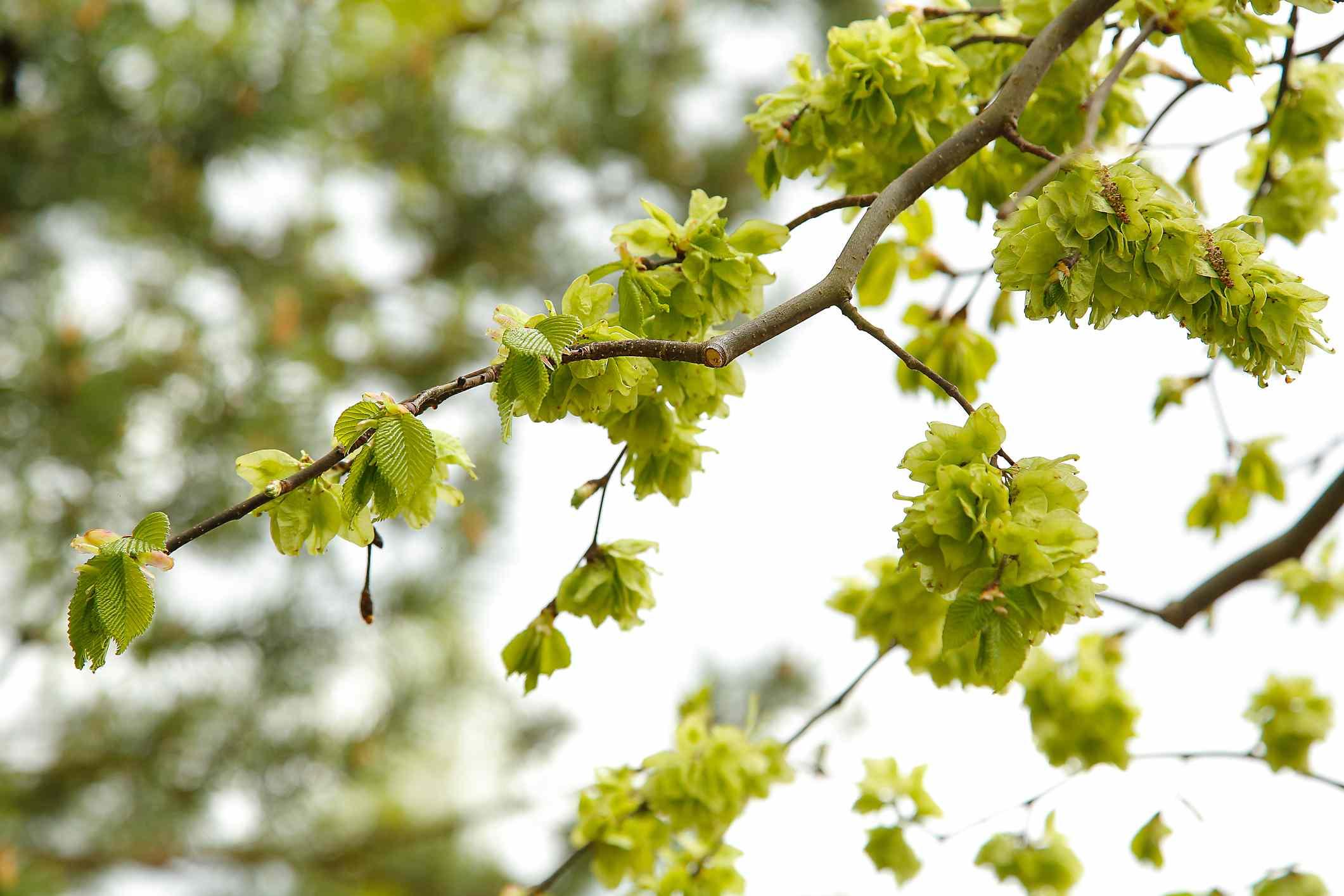 Foliage of camperdown elm tree