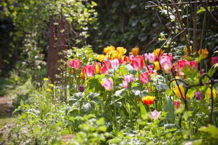 Choose Perennial Tulip Varieties
