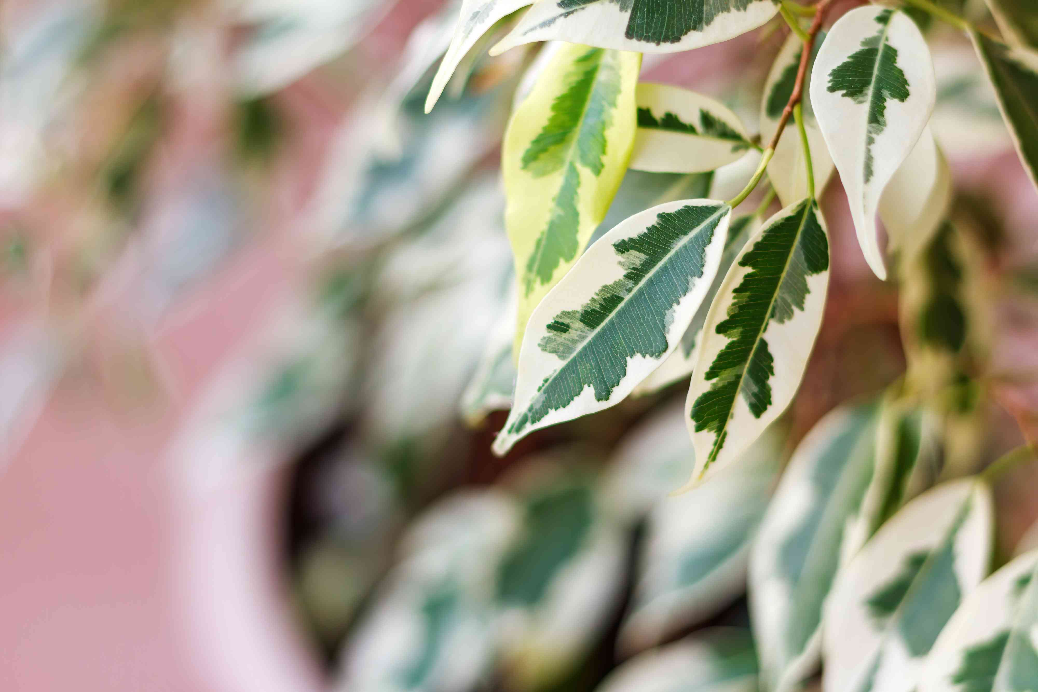 Branch of ficus benjamina with variegated leaves, selective focus, copy space.