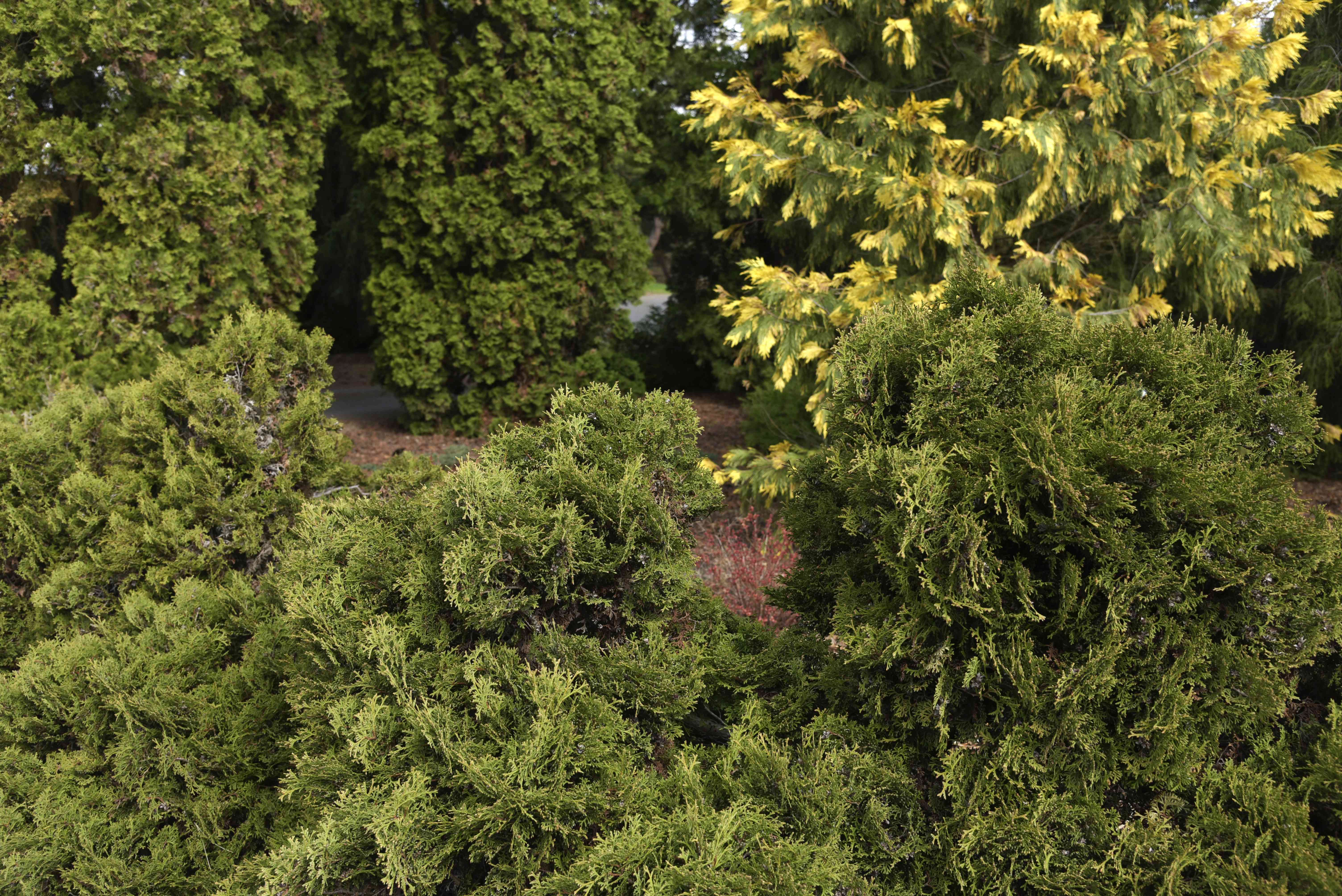 Thuja occidentalis dwarf conifer tree with flat and feathery foliage in front of yellow tree