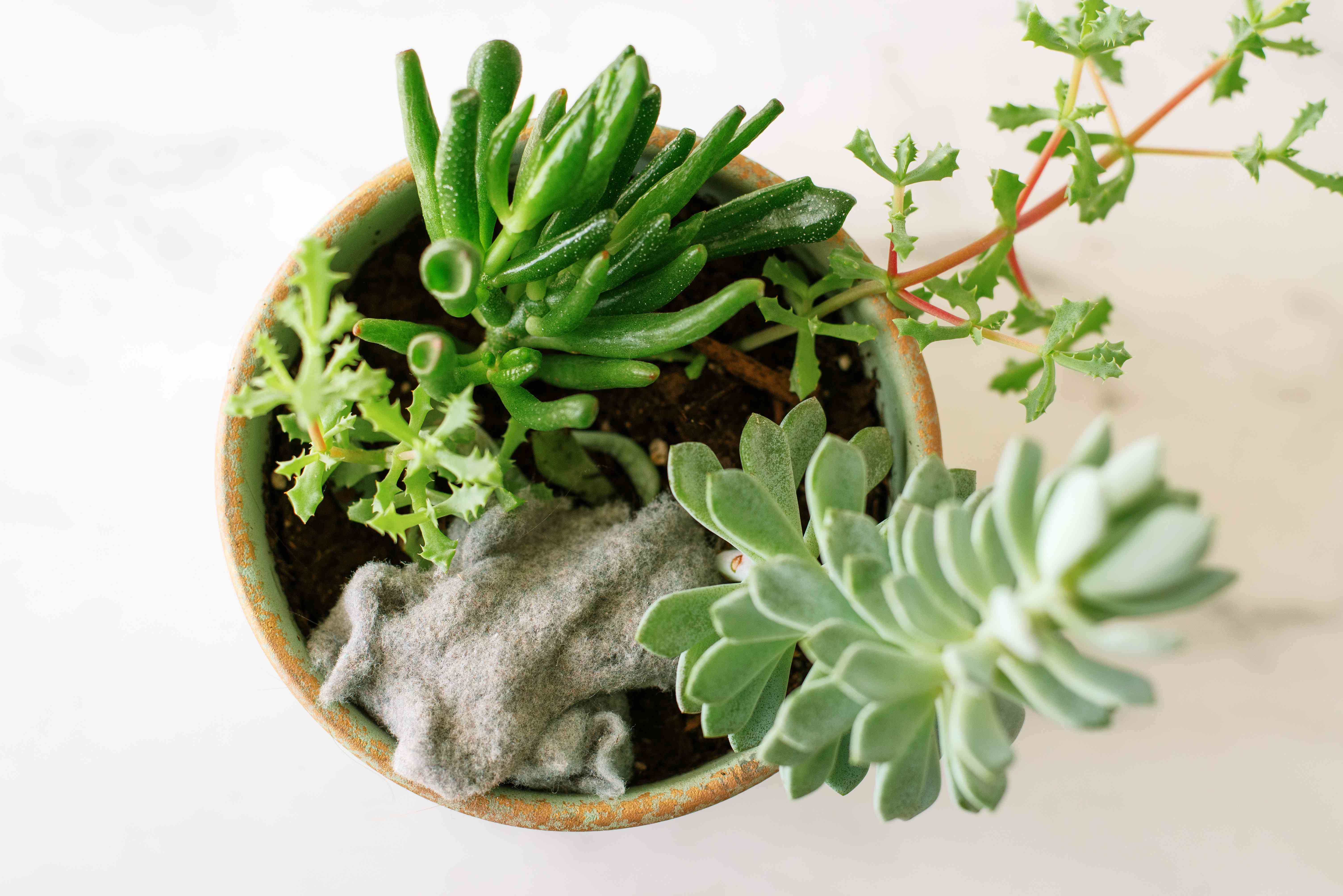 Dryer lint added to potted succulent plants as compost