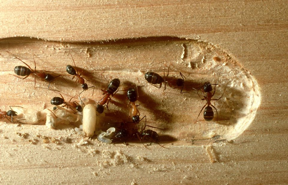 Carpenter ants: camponotus laevigatus impact on wood.