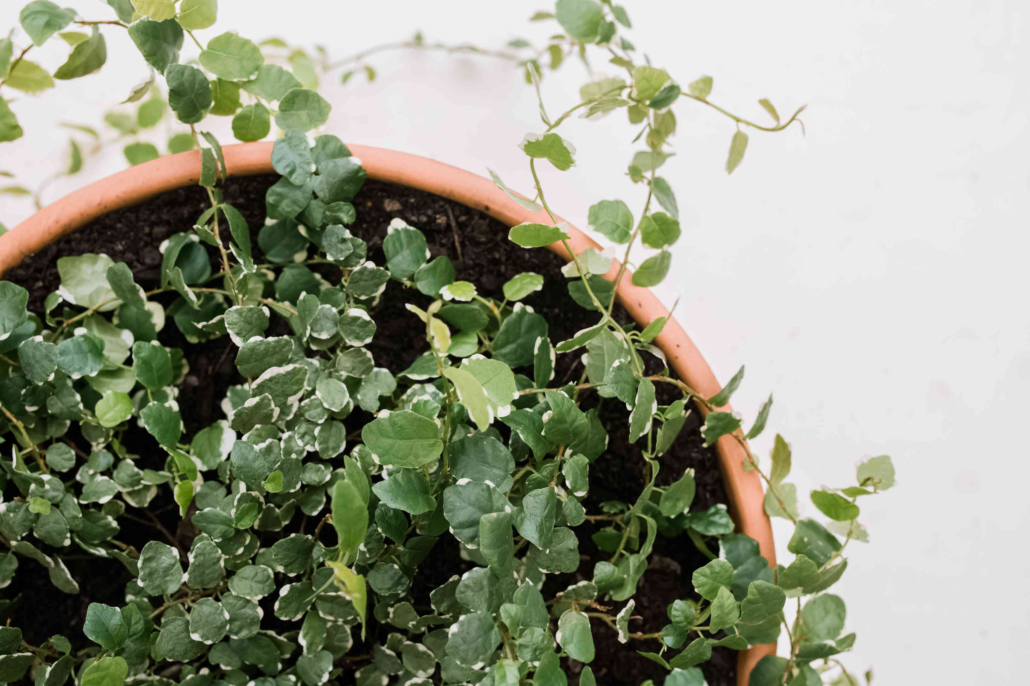 overhead view of creeping fig
