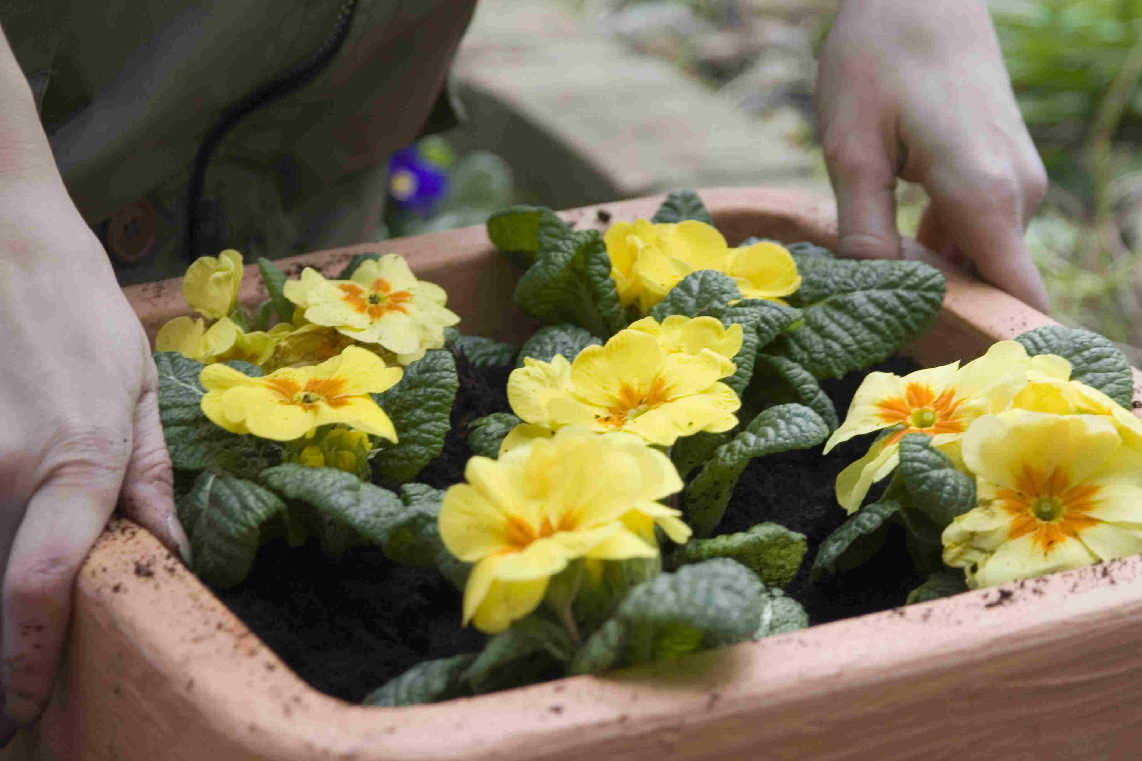 Plantar plantas de onagra (Primula) en un contenedor