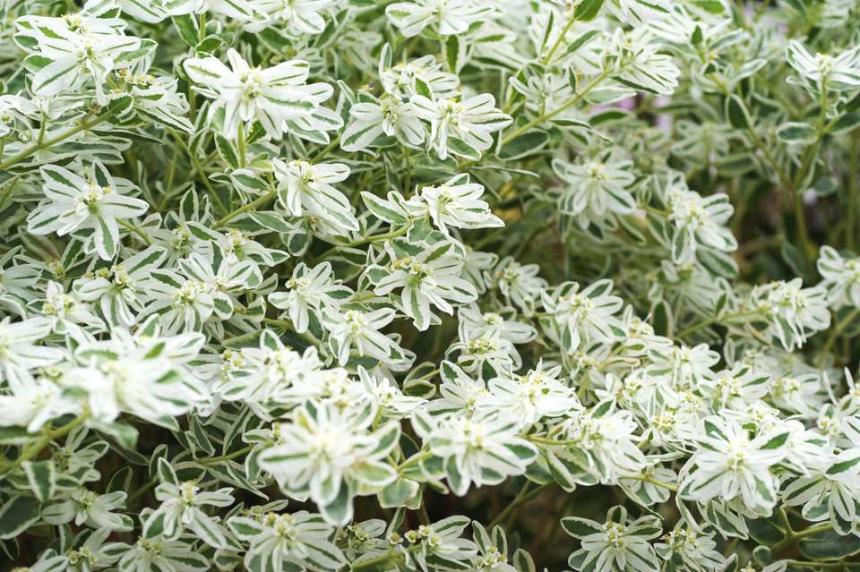 Snow on the mountain plant with white and green striped flowers clustered together