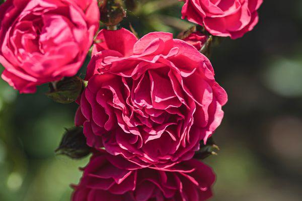 Sir John Betjeman English rose with pink flowers closeup