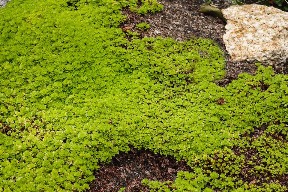 Scotch moss growing on ground next to boulder