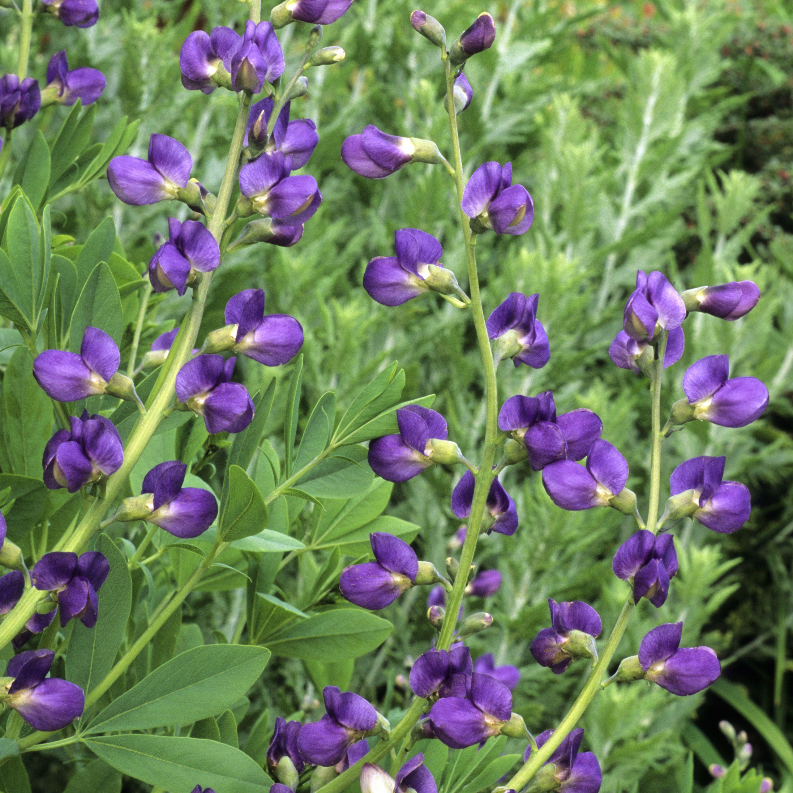 Baptisia australis, False Indigo, violet flowers