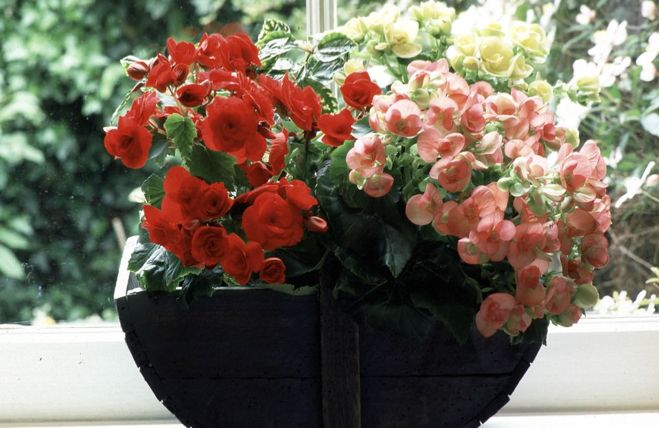 Varieties of begonia planted in wooden trug on windowsill, January