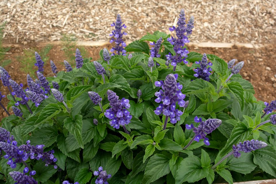 Victoria blue salvia plant with deep blue flower spikes surrounded by lance-shaped leaves next to mulch