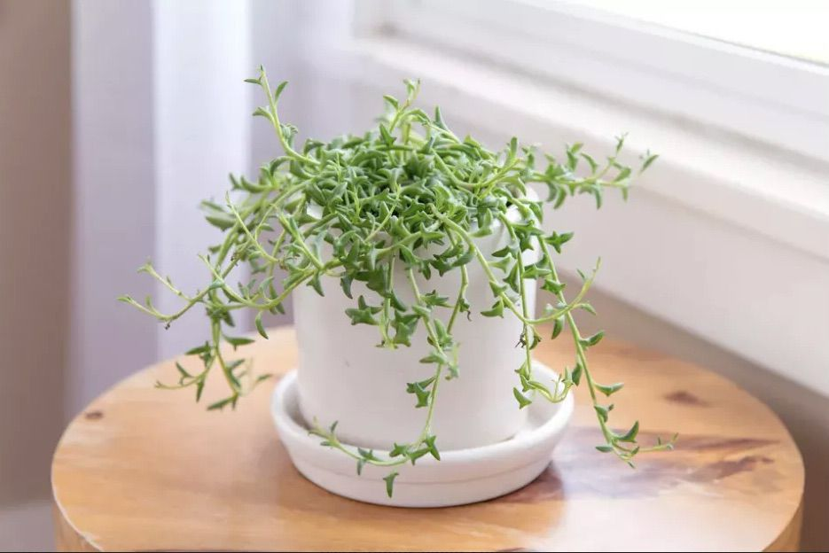 String of dolphins (Senecio peregrinus) in a white pot on top of a wooden table next to a window.