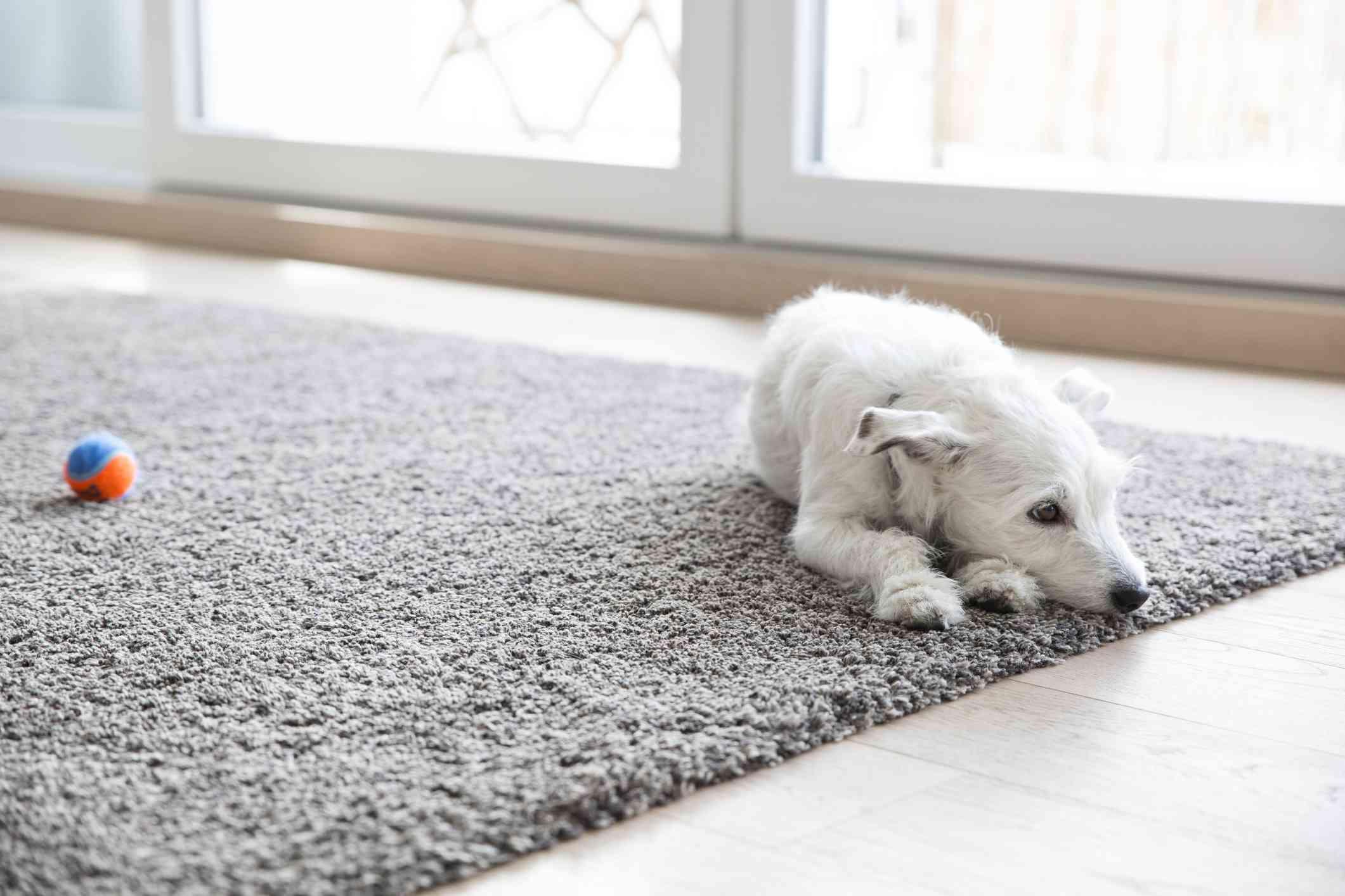 A dog on a carpet