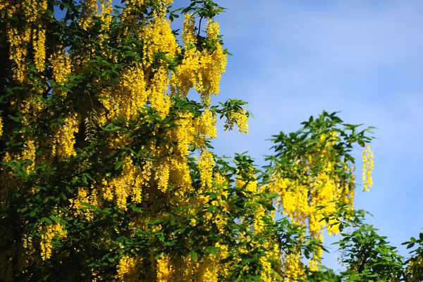 Golden chain tree with golden-yellow flowers hanging from branches