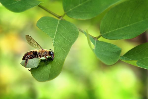 Leafcutter bee cuts out a piece of leaf of a plant