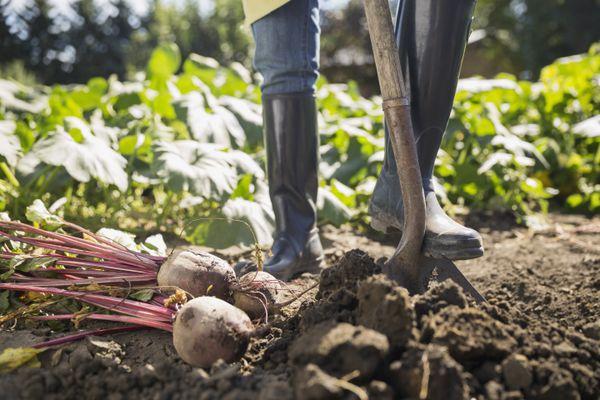 Woman harvesting rutabaga in vegetable garden