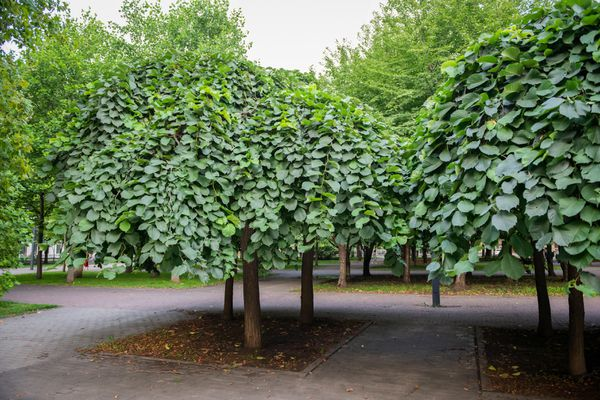 Camperdown elm trees wit umbrella-like branches in middle of park