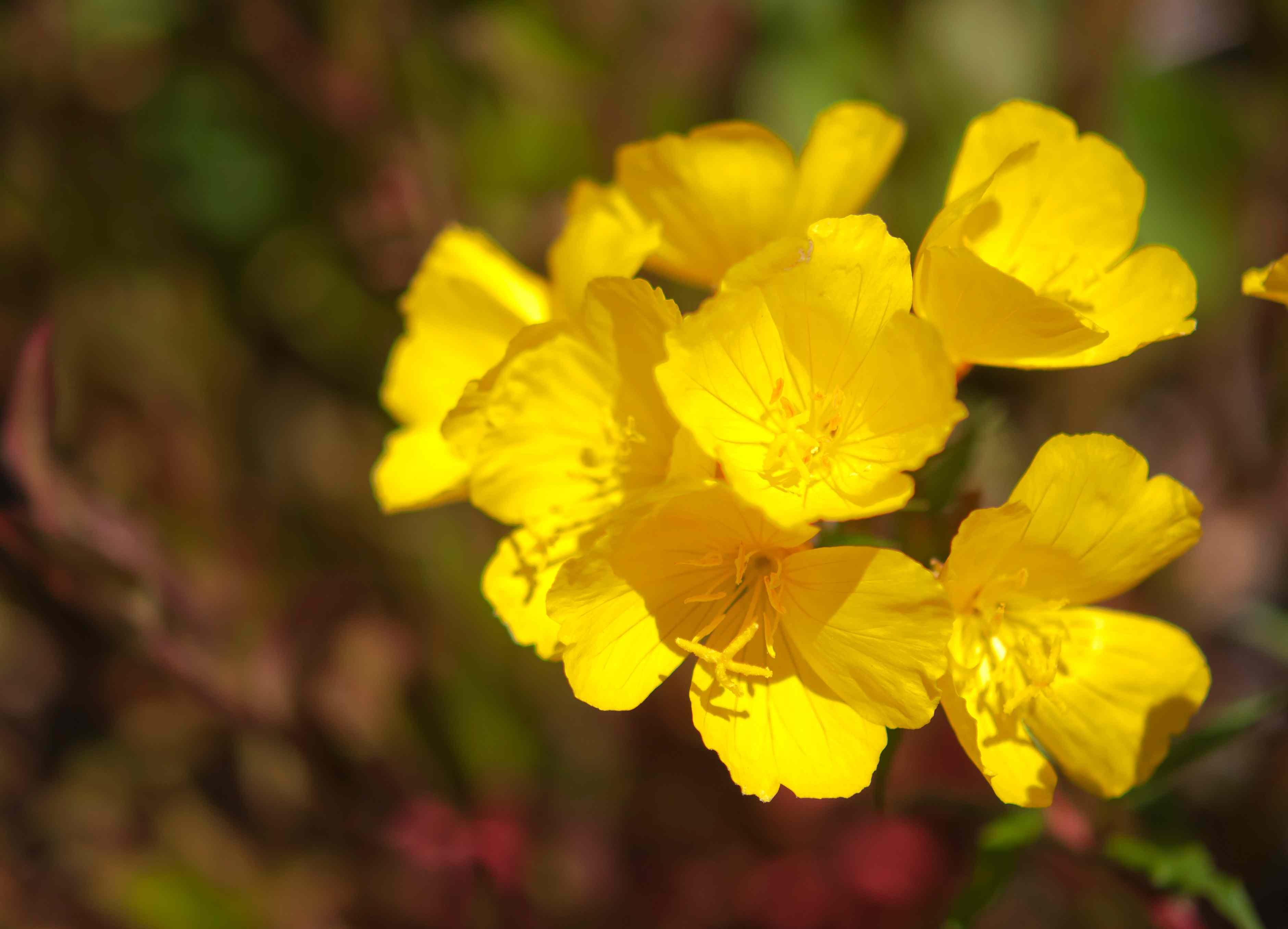 closeup of evening primrose