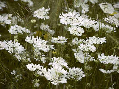 White Lace Flower (Orlaya grandiflora) in a meadow