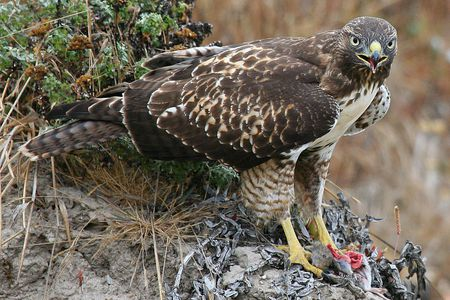 What Do Birds Of Prey Eat Raptor And Hawk Diets